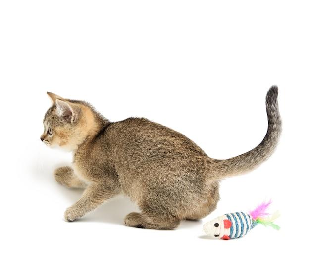 Słodki kociak szkocki złoty szynszyla prosta rasa, kot gra na białym tle