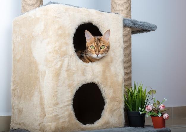 Słodki kot bengalski leży w dwupiętrowym domu dla kotów.