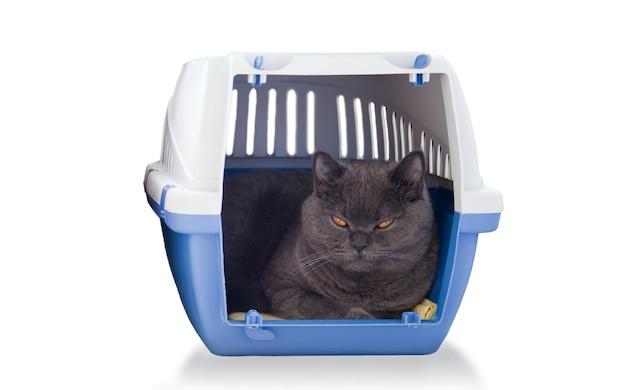 Słodki kot brytyjski krótkowłosy w pudełku
