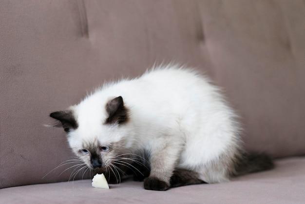 Słodki kot pachnący jedzeniem
