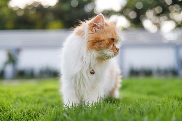 Słodki kot perski chodzi po zielonej trawie i patrzy na coś, selektywne skupienie płytkiej głębi ostrości