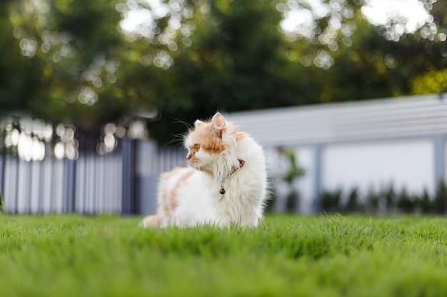 Słodki kot perski siedzący na zielonej trawie i patrzący na coś, selektywne skupienie płytkiej głębi ostrości