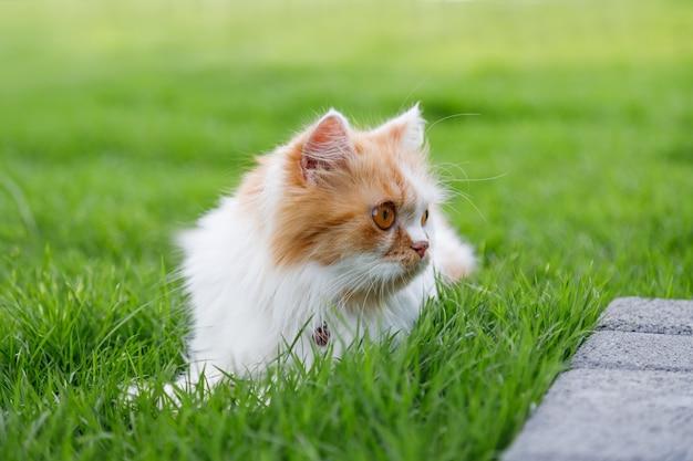Słodki kot perski siedzi na zielonym polu trawy i patrzy na coś, selektywne skupienie płytkiej głębi ostrości