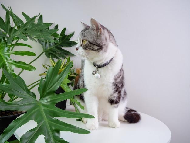 Słodki kot siedzi na stole i oczyszczacz powietrza drzewo monstera, sansevieria w salonie