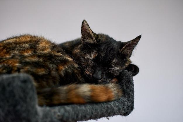 Słodki kot szylkretowy śpi w domku na drzewie