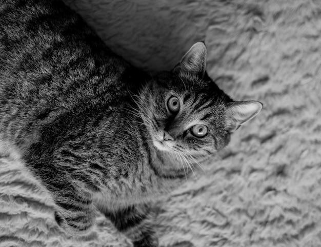 Słodki kot w paski patrzy w kamerę i leży na dywanie w pokoju