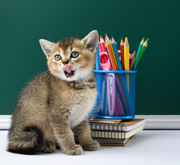 Słodki kotek szkocki złoty szynszyla prosto siedzi na żółtej książce na tle zielonej tablicy kredowej i papeterii, powrót do szkoły