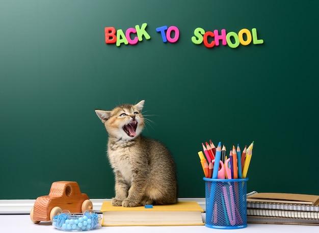Słodki kotek szkocki złoty szynszyla prosto siedzi z otwartymi ustami na książce na tle zielonej tablicy kredowej i papeterii, powrót do szkoły