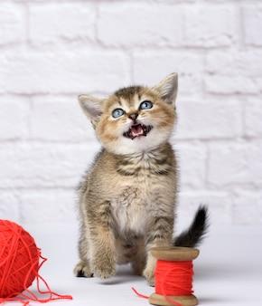 Słodki kotek szkockiej złotej szynszyli rasa prosta siedzi na białym tle i bawi się czerwonym motkiem wełnianej nici