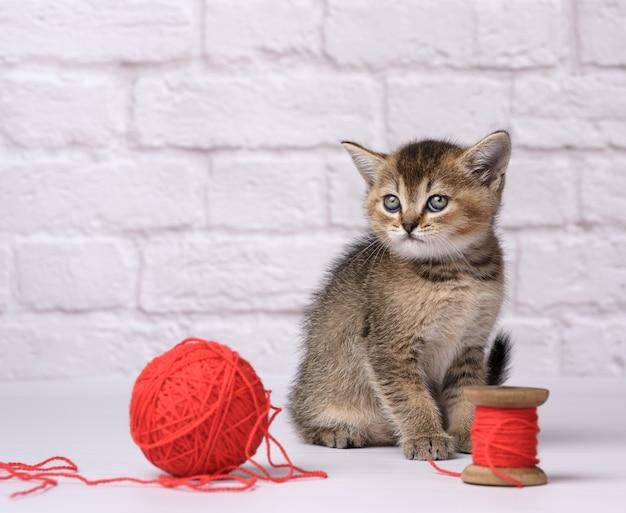Słodki kotek szkockiej złotej szynszyli rasy prostej siedzi na białym tle i bawi się czerwonym motkiem wełnianej nici