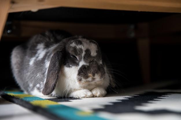 Słodki króliczek leżący pod sofą w domu