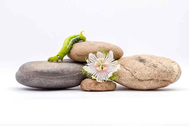 Słodki kwiat granadilli i daphnis nerii