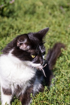 Słodki łowca kotów złapał mysz i trzyma w zębach na zewnątrz