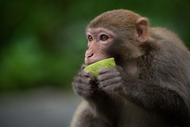 Słodki makak rezus (macaca mulatta) jedzenie małp