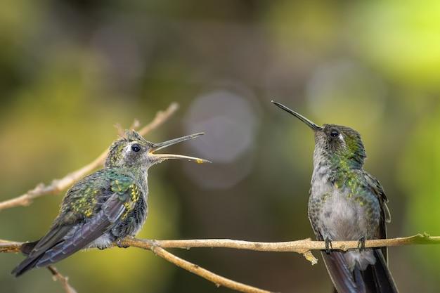 Słodki mały koliber na gałęzi w słonecznym lesie, czeka z otwartymi ustami, aż mama go nakarmi