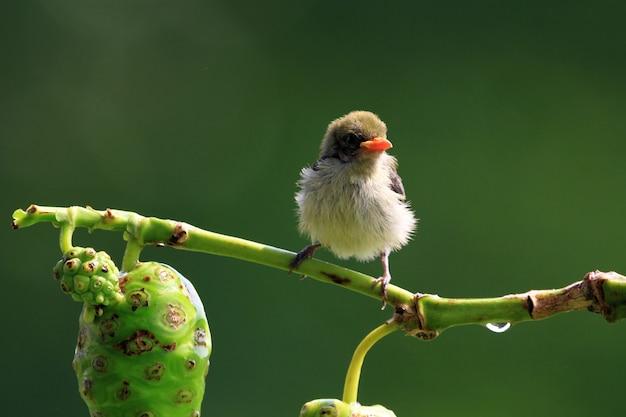 Słodki mały ptak kemande dicaeum trochileum