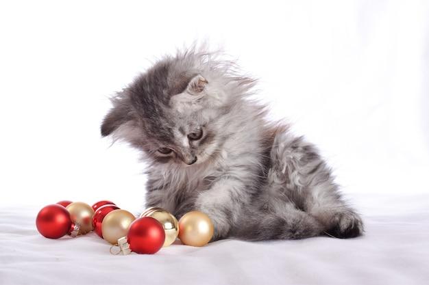 Słodki mały szkocki kot siedzi obok czerwonych szklanych kulek i bawi się nimi.