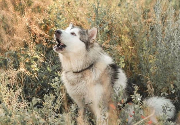 Słodki pies alassskan malamute wyje w wysokiej trawie