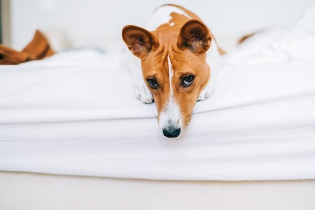 Słodki pies basenji leżący na łóżku w domu w jasnym salonie.