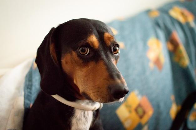 Słodki pies o jasnych brązowych oczach wpatrujących się