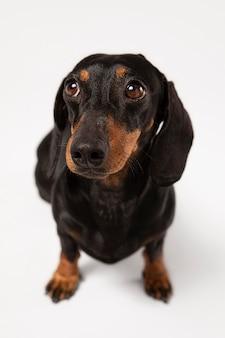 Słodki pies patrzący w studio