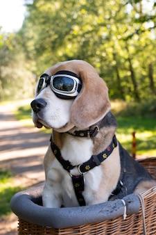 Słodki pies rasy beagle siedzący w koszu z goglami na ścieżce w naturze między drzewami