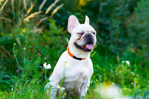 Słodki pies rasy buldog francuski siedzi w parku, zwierzę mruży oczy na spacerze latem