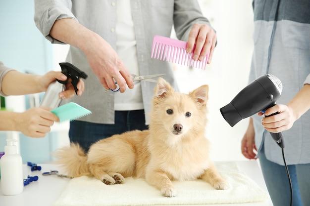 Słodki pies spitz w salonie groomer