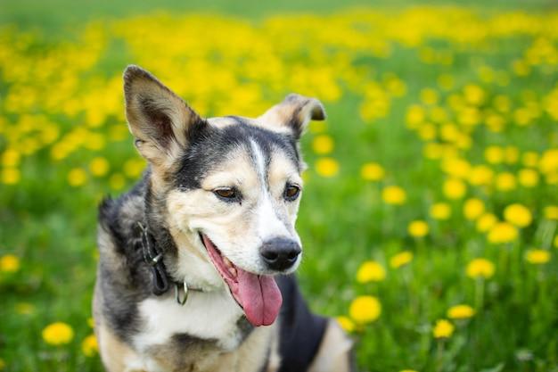 Słodki pies wiosną w żółte kwiaty na polu mniszka lekarskiego