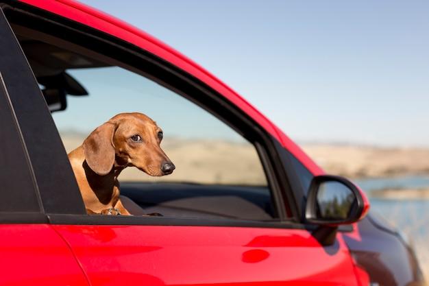 Słodki pies wyglądający przez okno samochodu
