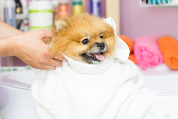 Słodki pomorzanin siedzi po kąpieli w białym ręczniku. pielęgnacja