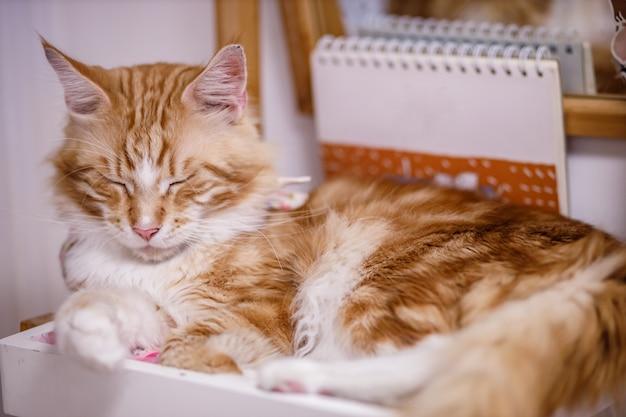 Słodki pręgowany kot z żółtymi oczami i długimi wąsami. szczegół portret pięknego kota. zrelaksowany kot domowy w domu.