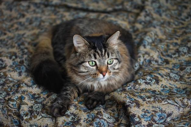 Słodki puszysty szary kot z zielonymi oczami kot na kanapie piękny kot wygląd zwierzęcego spokojnego kota zadbany zwierzak zwierzak leży