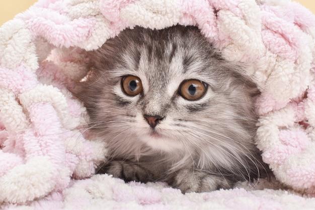 Słodki puszysty szary kotek wychodzi spod kocyka. zbliżenie twarzy kota w łóżku.