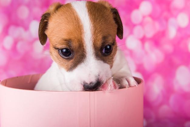 Słodki szczeniak jack russel terrier w różowym pudełku prezentowym