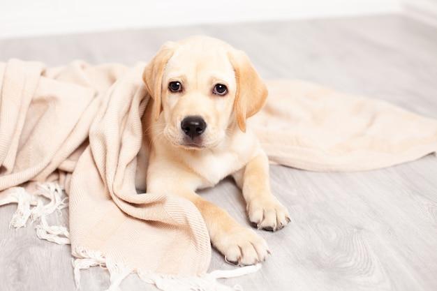 Słodki szczeniak labrador leży na podłodze pod kocem domu. zwierzak domowy. pies. zdjęcie wysokiej jakości