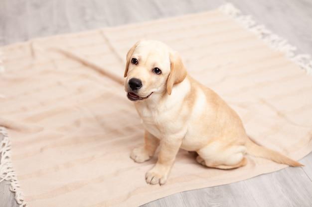 Słodki szczeniak labrador siedzi na podłodze pod kocem domu. zwierzak domowy. pies. zdjęcie wysokiej jakości