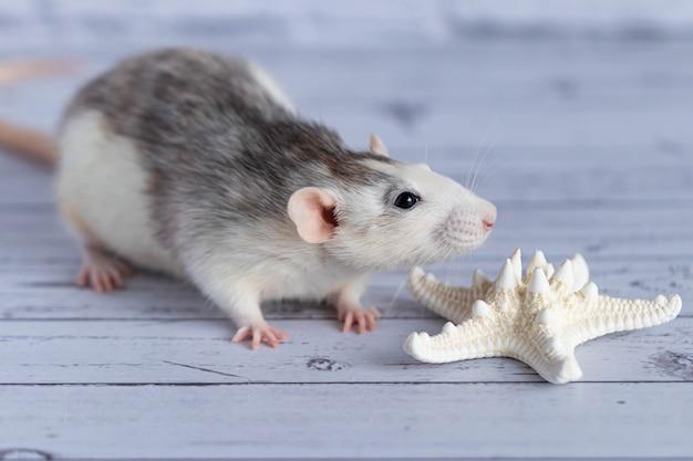 Słodki szczur wącha białą rozgwiazdę