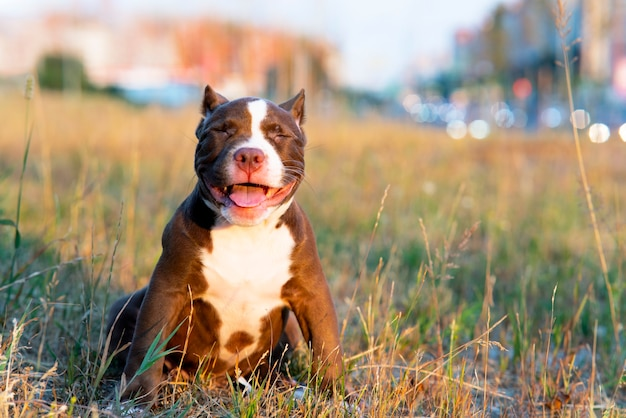 Słodki uśmiech szczeniak siedzący na trawie w słoneczny dzień zabawny mały zwierzak rasa amerykański tyran szczęśliwy komp...