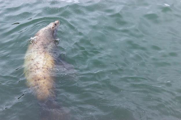Słodki wąsaty lew morski pływa w brudnej wodzie