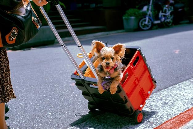 Słodki yorkshire terrier noszony w plastikowym koszu