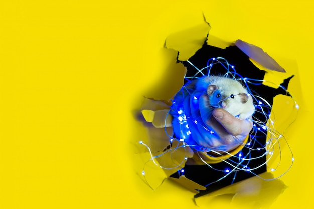 Słodki zabawny szczur w świątecznej girlandzie wygląda z dziury w żółtym papierze. przestrzeń reklamowa.