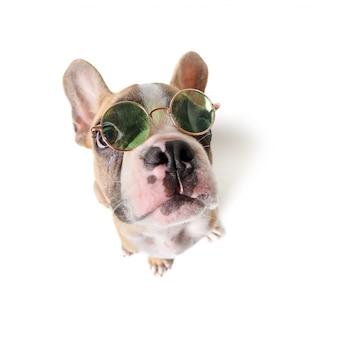 Słodkie buldog francuski nosić okulary na białym tle