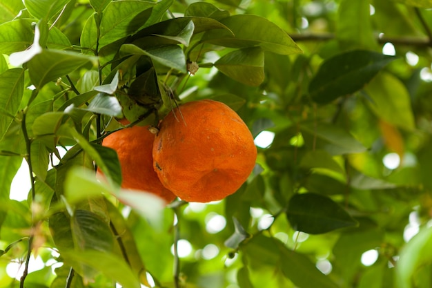 Słodkie dojrzałe mandarynki na drzewie świeże owoce cytrusowe owoce uprawiane w rolnictwie ekologicznym