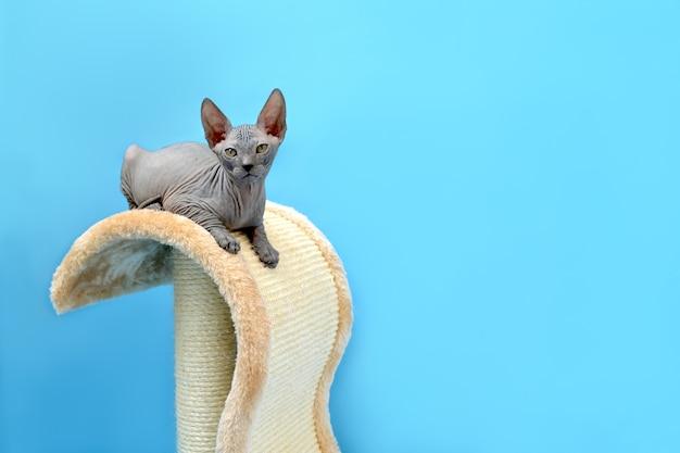 Słodkie dziecko don sfinks kot siedzi na drapaku kota na niebieskim tle