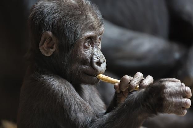 Słodkie małe dziecko goryla bawi się kijem