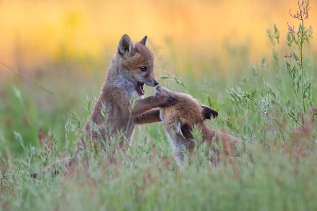 Słodkie małe lisy bawiące się na zielonym trawiastym polu w ciągu dnia