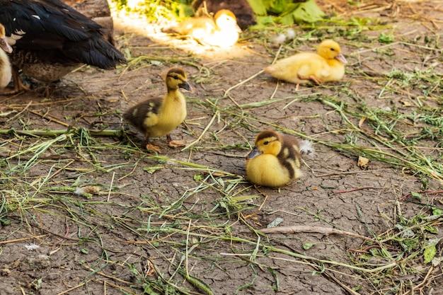 Słodkie małe puszyste kaczątko noworodka. jedna młoda kaczka na białym tle. ładny mały ptaszek.