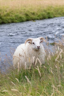 Słodkie owce na islandii.