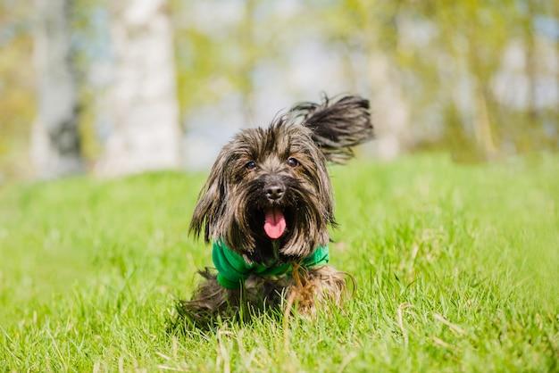 Słodkie pies z językiem na zewnątrz